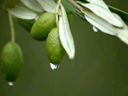 橄榄树用英语怎么说